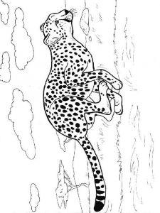 raskraska-gepard-2