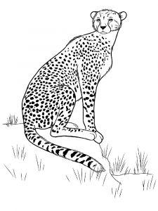 raskraska-gepard-3
