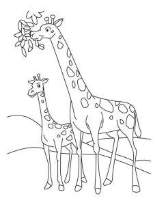 raskraska-giraffe-7