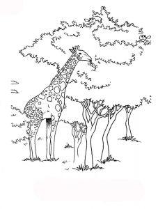 raskraska-giraffe-9