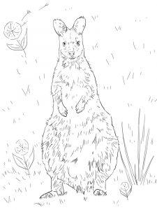 raskraska-kenguru-19