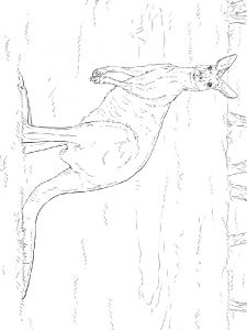 raskraska-kenguru-21
