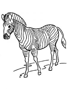 raskraska-zebra-14