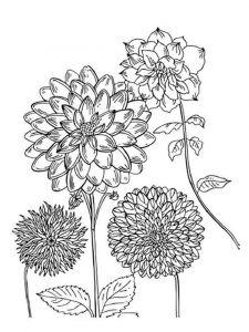 raskraski-cvety-georgin-5