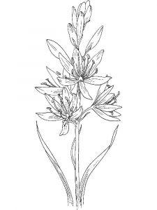 raskraski-cvety-giacint-7