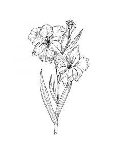 raskraski-cvety-gladiolus-10