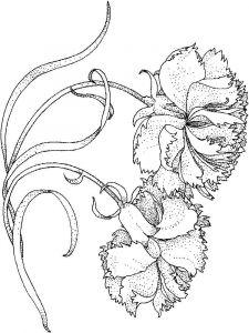 raskraski-cvety-gvozdika-9