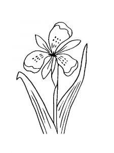 raskraski-cvety-iris-15