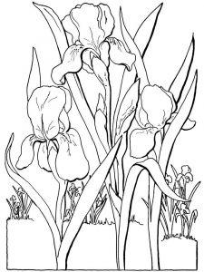raskraski-cvety-iris-5