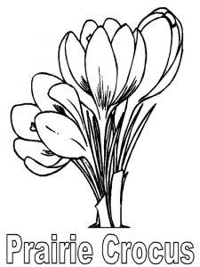 raskraski-cvety-krokus-10