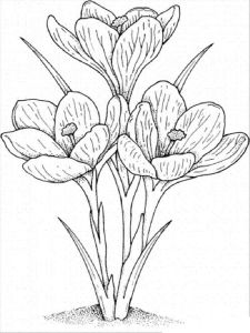 raskraski-cvety-krokus-3