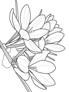 raskraski-cvety-krokus-8