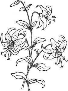 raskraski-cvety-lilija-3