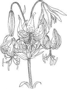 raskraski-cvety-lilija-8