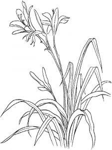 raskraski-cvety-lilija-9