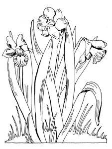 raskraski-cvety-narciss-1
