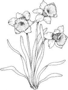 raskraski-cvety-narciss-10