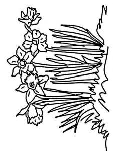 raskraski-cvety-narciss-4
