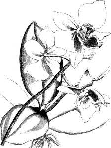 raskraski-cvety-orhideja-17