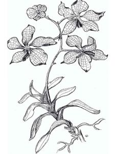raskraski-cvety-orhideja-4