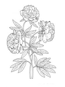 raskraski-cvety-pion-11