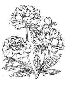 raskraski-cvety-pion-14