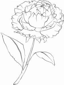 raskraski-cvety-pion-2