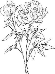 raskraski-cvety-pion-6