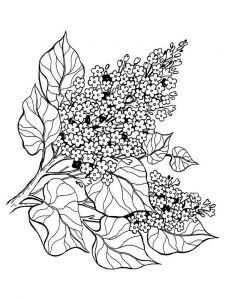 raskraski-cvety-siren-1
