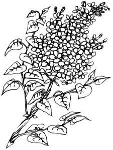 raskraski-cvety-siren-5