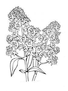 raskraski-cvety-siren-8