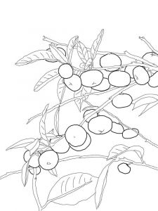 raskraski-frukty-mandarin-4