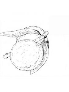 raskraski-frukty-persik-3