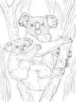 raskraska-Koala-14
