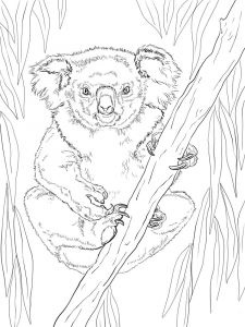 raskraska-Koala-4