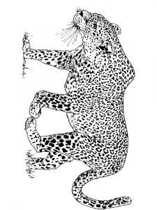 raskraska-Leopard-12
