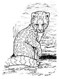 raskraska-gepard-12