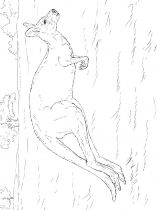 raskraska-kenguru-10