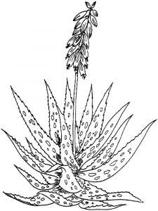 raskraski-cvety-aloe-4