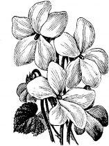 raskraski-cvety-fialka-7