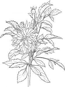 raskraski-cvety-georgin-6