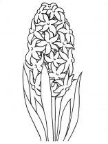 raskraski-cvety-giacint-1