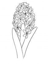 raskraski-cvety-giacint-4