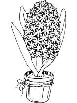 raskraski-cvety-giacint-6