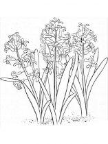 raskraski-cvety-giacint-8