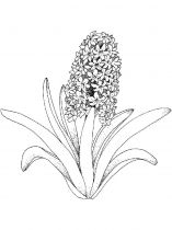 raskraski-cvety-giacint-9