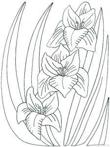 raskraski-cvety-gladiolus-1