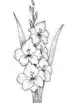 raskraski-cvety-gladiolus-12