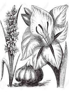 raskraski-cvety-gladiolus-3