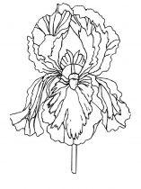 raskraski-cvety-iris-1